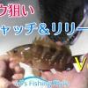 キャッチ&リリース!~アコウ(キジハタ)・カサゴの釣り方~ボートロックフィッシュゲーム@大阪湾 Seamaster を公開しました。